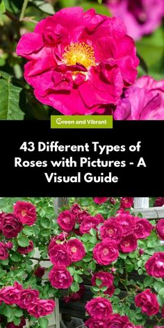 If you are on the hunt for the perfect rose for your garden, whether that be a continuous bloomer or one without thorns, this list of types of roses will help you to identify one rose from another. Types Of Rose Bushes, Rose Bushes For Sale, Types Of Shrubs, Types Of Roses, Floribunda Roses, Shrub Roses, David Austin Climbing Roses, Planting Roses, Roses Garden