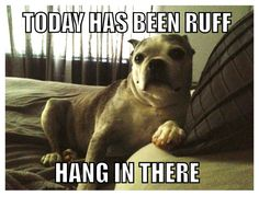 Boston Terrier | Ruff day