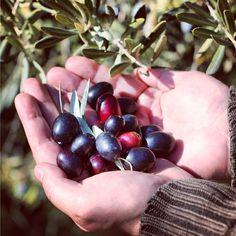 Aceitunas maduras para elaborar Aceite de Oliva Virgen Extra. Olives to make Extra Virgin Olive Oil.