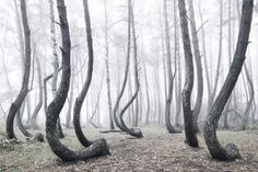"""Located just outside of Nowe Czarnowo, West Pomerania, Poland, there lies a pine grove known as the """"Crooked Forest."""" It is one of the most unusual Crooked Forest, Crooked Tree, Fantasy Landscape, Landscape Photos, Twisted Tree, Socotra, Colossal Art, Design Shop, Pine Tree"""