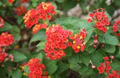 Lantana love this plant and it loves southern heat...in my yard many times over.