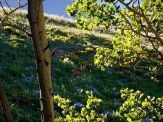 crested butte meadow! #crestedbutte #colorado #beautiful #flowers