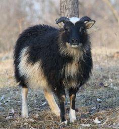 Blackhavens Farm - About Icelandic Sheep Happy Animals, Farm Animals, Baa Baa Black Sheep, Photo Animaliere, Sheep Breeds, Sheep And Lamb, Wild Nature, Livestock, Cattle