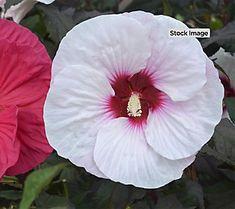 Winter Hardy Honeymoon Hibiscus 4 colors in 1 pot combo | Garden