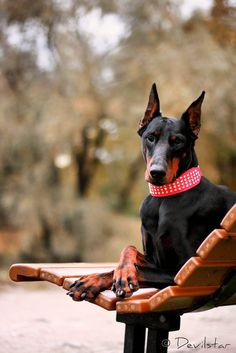 #Doberman | Re-pinned from Forever Friends Fine Stationery & Favors http://foreverfriendsfinestationeryandfavors.com