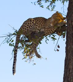 Leopard out on a limb? Big Cats, Cute Cats, Adorable Kittens, Beautiful Cats, Animals Beautiful, Animals And Pets, Cute Animals, Gato Grande, Ragdoll Kittens