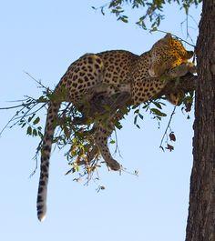 Leopard out on a limb? Kittens Cutest, Cute Cats, Ragdoll Kittens, Tabby Cats, Funny Kittens, Bengal Cats, Kitty Cats, Beautiful Cats, Animals Beautiful