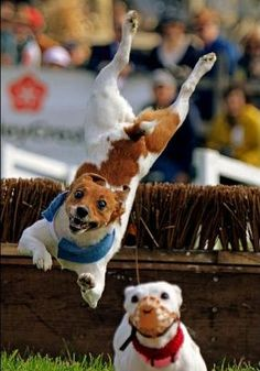 Amazing athlete...most intense competitive small breed the JRT