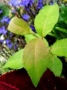 kecskefűz levele Plant Leaves, Plants, Planters, Plant, Planting