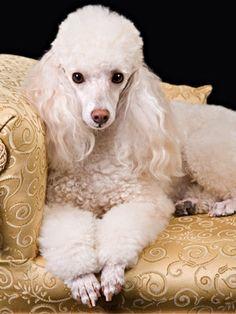 Como escolher o melhor cão para sua familia o poosle é uma otima escolha pois é muito carinhoso