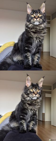 Maine coon kitten 6 months brown tabby blotched. Millquartercoons Boreas Albus. Black tabby. Instagram: @boreas.abus.mainecoon  http://www.mainecoonguide.com/health/ #catsbreedsmainecoon