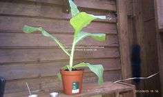 TOBACCO SEEDS PLANTS UK #TOBACCO http://www.growyourownrollyourown.com/