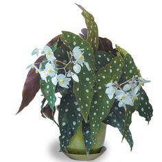 Begonia 'Wightii' (Begonia maculata variegata) - Indoor and Windowsill Plants - Indoor logees.com