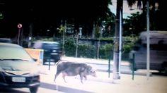 Leitoa é flagrada atravessando calmamente via expressa do Rio