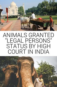 """In a recent ruling by Justice Rajiv Sharma, the Punjab and Haryana High Court in India have just awarded """"legal person or entity"""" status to all  animals in Haryana. The verdict aims to """"protect and promote greater welfare of animals.""""  ...  #vegannews #animalrights #veganindia #india #veganworld #indianews Vegan News, The Verdict, Vegan Animals, Animal Welfare, Animal Rights, Wildlife, Inspire, The Incredibles, India"""