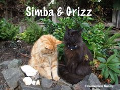 Simba & Grizz - The Cats of Dancing Oaks Nursery - DancingOaks.com #gardening #cats #mainecoon