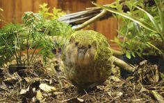 One Of The World's Rarest Birds Just Had A Baby. Kakapo