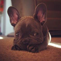 Goodness. Isn't he adorable? In the near future I hope to have one! Limited Edition French Bulldog Tee http://teespring.com/lovefrenchbulldogs