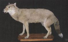 Warrah or Falkland Islands Wolf  There are complete specimens of the Warrah (Falklands Islands Fox, Antarctic Wolf) in the Royal Belgian Institute of Natural Sciences, Brussels and Swedish Museum of Natural History, Stockholm. There are a further 9 specimens in museums around the world. A live Warrah was taken to London Zoo, England in 1868, but survived only a few years.