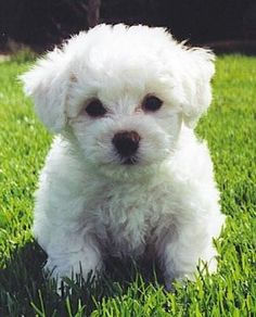 Bichon Frise puppy :) home-is-where-the-heart-is