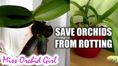 How to save Orchids with Black Rot