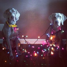 Best weims ever!!! I KNOW THEM!