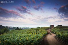 [해바라기] 함안 강주마을  #해바라기, #삼락공원, #꽃, #스냅