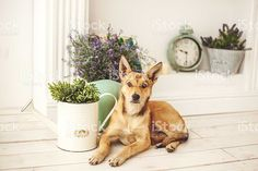http://media.istockphoto.com/photos/dog-with-light-hair-in-oldfashioned-decorated-room-picture-id468047194