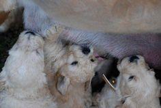 nursing goldendoodle puppies