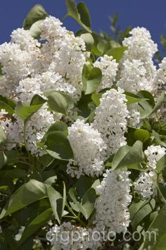 Syringa vulgaris 'Maud Notcutt' (White Lilac)