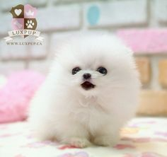 Teacup White Pomeranian My first dog is going to be a teacup pomeranian SO CUTE! Cute Baby Puppies, Fluffy Puppies, Baby Dogs, Cute Baby Animals, Cute Dogs, Funny Animals, Cute Babies, Animals Dog, Doggies