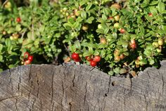 Lingonberries turning red