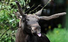 Moose Huh. Rude or just cheeky? You decide. If you'd like to go and stick your tongue out at this moose in retaliation, your best bet is either Russia or North America. Where to spot: If you really want to get up close and personal, this season there was an actual moose on the loose at the Mont-Saint-Anne resort in Quebec, who wandered on to a ski run