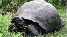 The Galápagos Islands are known for their giant tortoises, but this new species fooled scientists.