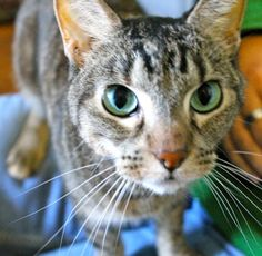 2/22/16 SL- Meet Allie, a Petfinder adoptable Domestic Medium Hair Cat | Memphis, TN | For more information about our hours, location, adoption fees, and adoptable pets; please go to...