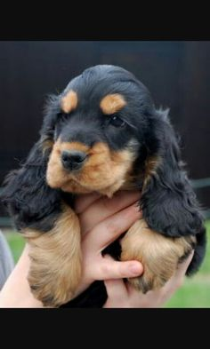 Black cocker and fire puppy , King Charles Cocker Spaniel, Blue Roan Cocker Spaniel, Black Cocker Spaniel, Cocker Spaniel Puppies, Baby Puppies, Cute Puppies, Dogs And Puppies, Schnauzer, Cockerspaniel