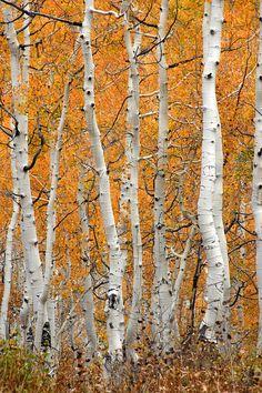 Aspen Grove - Bing Images