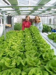 Grower Hopes to Use Hydroponic Lettuce to Educate Young Entrepreneurs - Lancaster Farming - via www. Hydroponic Lettuce, Backyard Aquaponics, Hydroponic Growing, Aquaponics Fish, Aquaponics System, Hydroponic Gardening, Organic Gardening, Gardening Tips, Indoor Hydroponics