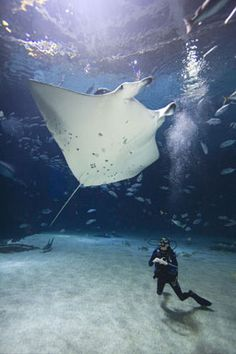 http://www.georgiaaquarium.org/swimOrDive/index.aspx I want to Dive here, 6.3 million gallons of water :) Whale Sharks and a #Manta Ray <3