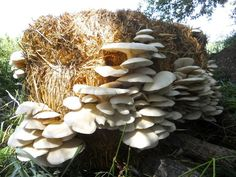 Growing mushrooms in straw bales - straw makes the perfect growing medium for growing your own mushrooms in your backyard garden... | http://www.strawbalegardeningbook.com/