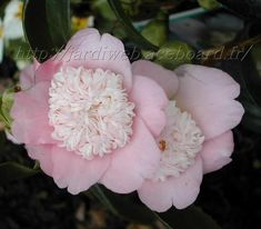 Camellia 'Pink Tinsie'  I have Red and White.  So, of course I need pink too!