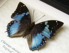 Western Blue Charaxes Smaragdalis Real Butterfly In Shadowbox by ButterfliesArtist on Etsy