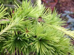The Weeping Larch (Larix decidua 'Pendula') is a graceful, small, deciduous conifer with elegant drooping foliage and branches. It is best to plant the Weeping Larch where the roots have room to expand unobstructed by pavement and buildings.  http://hoosierhomeandgarden.com/weeping-larch/