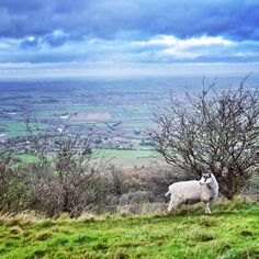 2 days of 3-hour hilly walks in the Cotswolds have really tested my quads two weeks post-marathon, but we've been rewarded with these kinds of views and these friendly fellas, not to mention the beautiful alpacas at Sudeley Castle