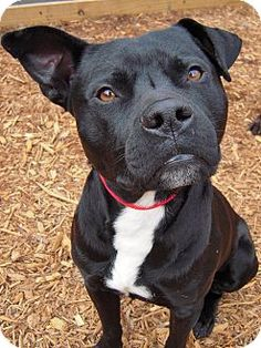 Ryder is a Pit Bull available for adoption in Charleston, SC: http://www.adoptapet.com/pet/8602544-charleston-south-carolina-american-pit-bull-terrier-mix