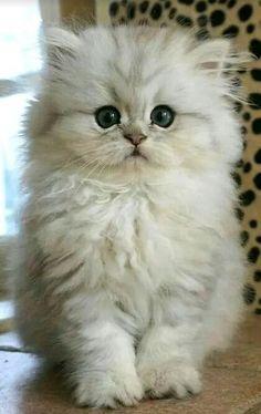 Sweet little fluffball kittens cutest baby, cutest pets, cute cats and kittens, kitten Cute Baby Cats, Cute Cats And Kittens, Kittens Cutest, Cute Fluffy Kittens, Cutest Pets, Cute Cartoon Animals, Cute Little Animals, Funny Animals, Funny Cats