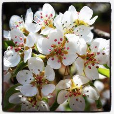 Albero del pero in fiore (Aprile). Il pero (Pyrus L., 1753) è un genere di piante appartenente alla famiglia delle Rosaceae, comprendente specie arboree e arbustive con fioritura delicata e variamente colorata.