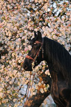 I'm wishin this beautiful beast was mine. Cute Horses, Pretty Horses, Horse Love, Pretty Animals, Cute Baby Animals, Animals Beautiful, Beautiful Arabian Horses, Most Beautiful Horses, Cavalo Wallpaper