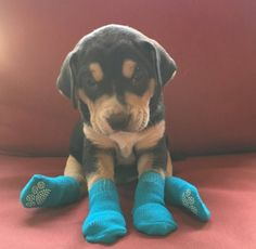Puppy in socks! I cannot deal.