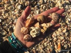 How quickly the beach changes with each wave on Sanibel and Captiva Islands. The shells roll back and forth with each tide. Captiva Island, Shell Collection, Fort Myers Beach, Shell Beach, Sea Shells, Creatures, Ocean, In This Moment, Beaches